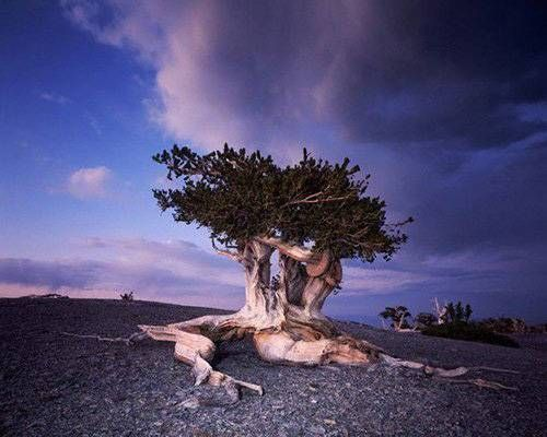 The world's 10 oldest living trees