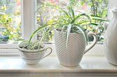 Best Indoor Plants for Cleaning the Air: Spider plant (Chlorophytum comosum)