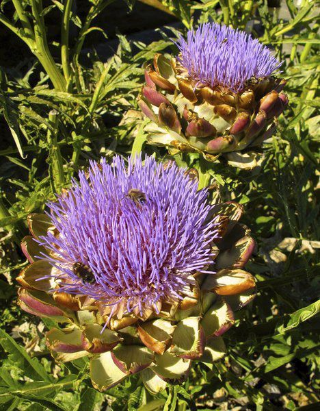 Artichokes can be both edible and ornamental