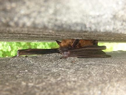 Wildlife Resources Commission Offers Bat-Friendly Advice for Homeowners