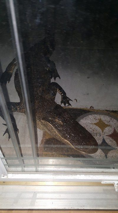 Alligator shows up unannounced at South Carolina woman's home