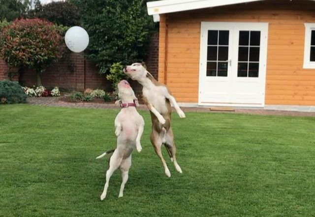 May We All Be As Happy As These Two Dogs With A Balloon