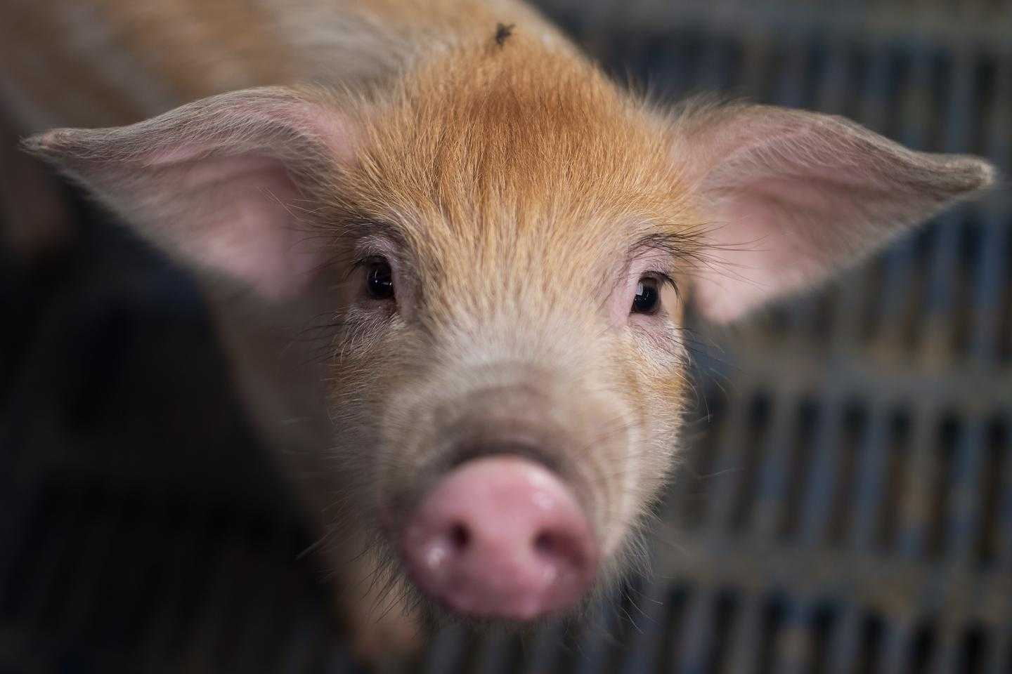 Porcine Deltacoronavirus: This deadly pig virus could jump to humans, scientists warn