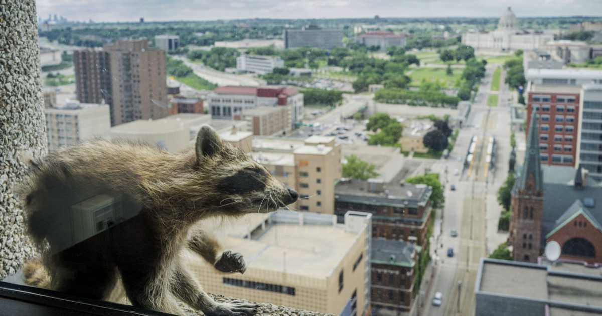 Climbing raccoon scales Minnesota skyscraper, defies death and becomes internet famous