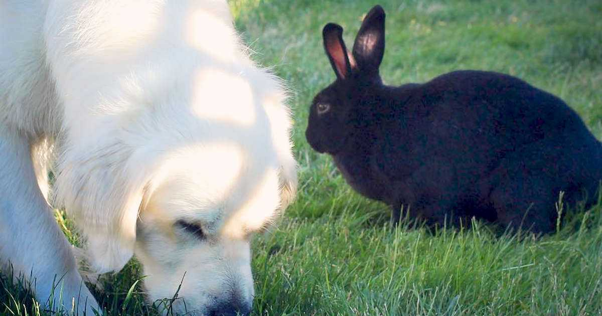 Bunny And Golden Retriever Are The Biggest Snuggle Buddies