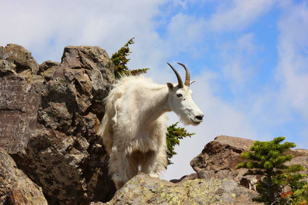 Mountain Goats Surround, Lick Vail Hiker