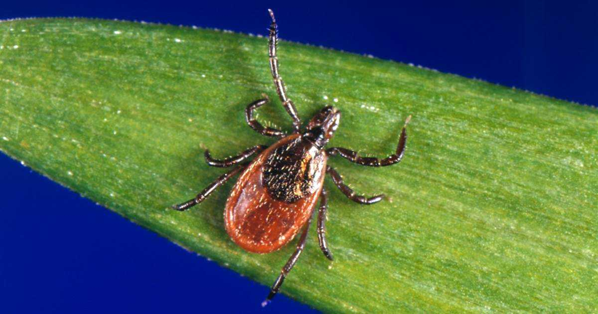 'Citizen scientists' send in over 16,000 ticks in study showing broader disease threat