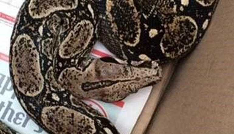 Long Boa Constrictor Falls From Ceiling, Lands On Sleeping Man