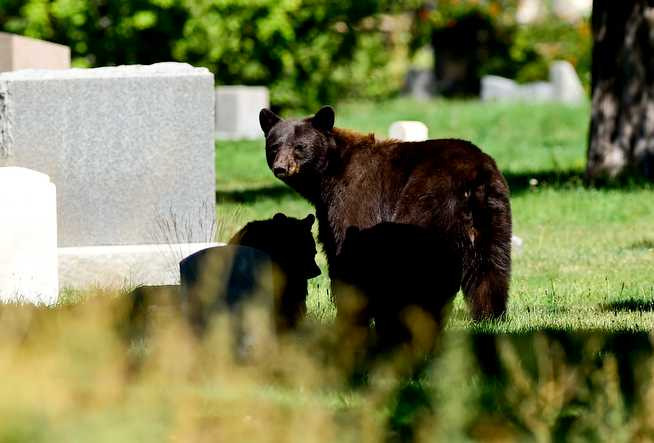Bear and her cubs prompt lockout at Flatirons Elementary in Boulder