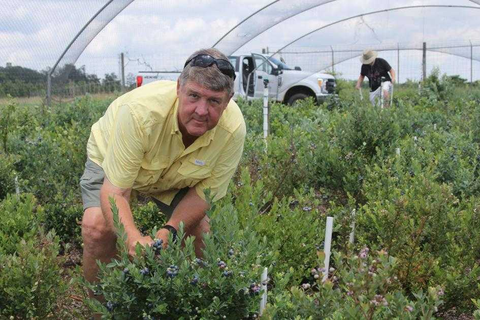 The blueberry state: How one UGA professor helped Georgia become a leading producer of blueberries