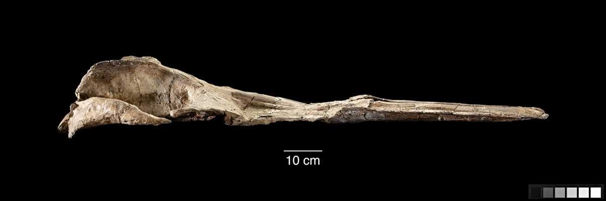 Prehistoric Whale Jaw Bone Sheds Light on the Evolution of Baleen