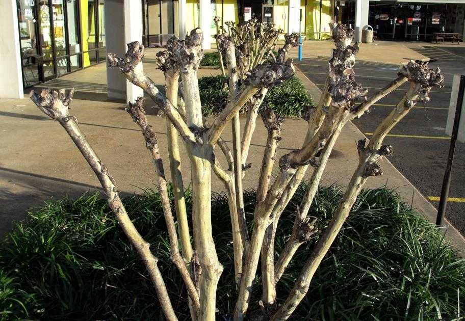 There are many reasons not to prune your crape myrtles