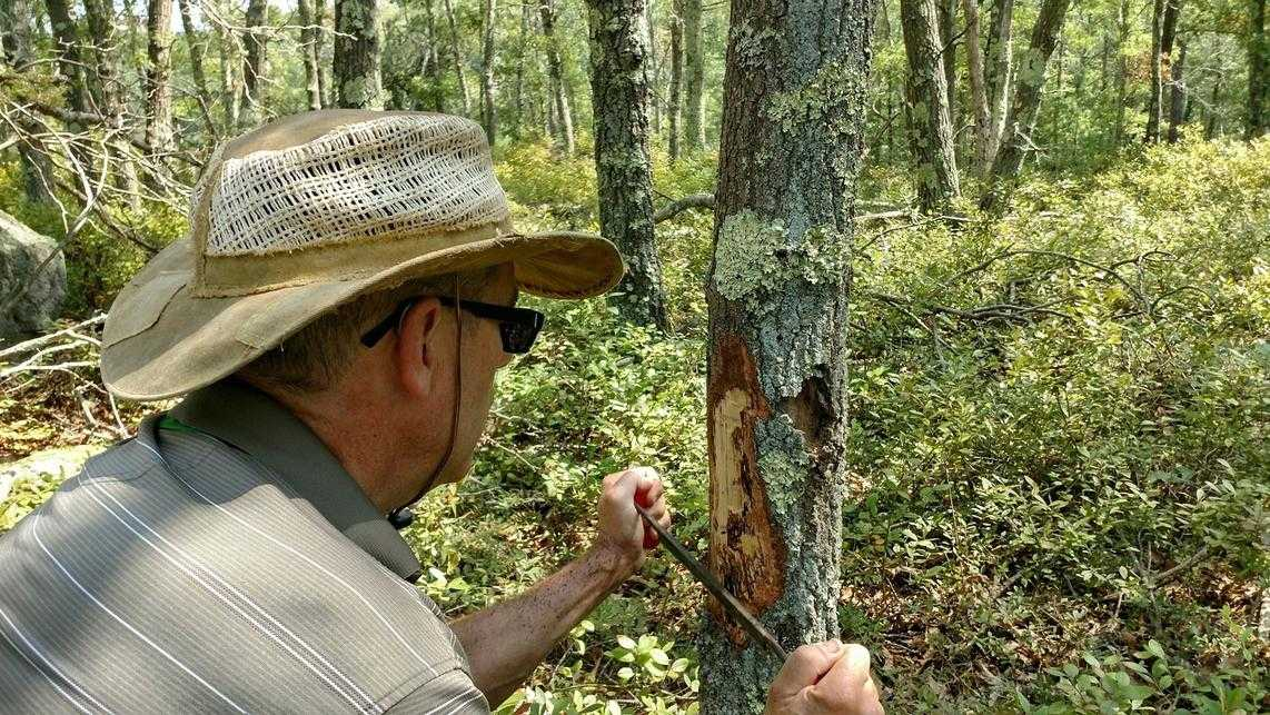 Insect infestations and hot, dry summers have killed trees covering nearly 50,000 forest acres