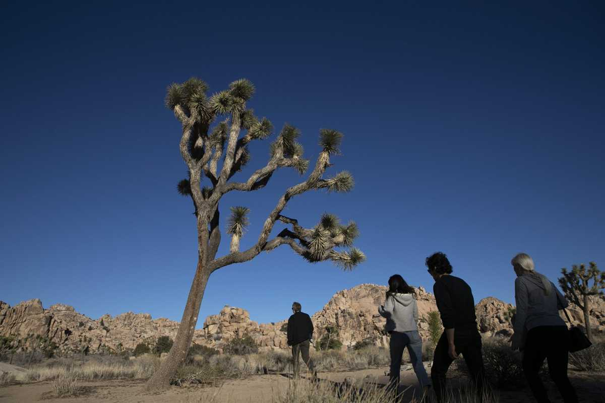 People are cutting down Joshua trees in Joshua Tree National Park during the government shutdown