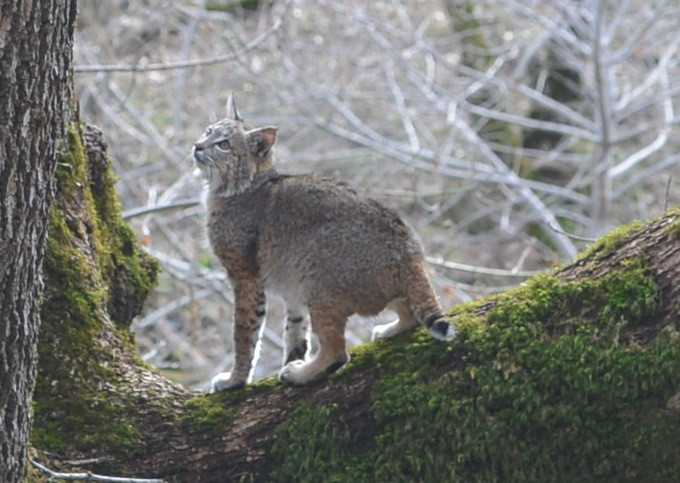 Bobcat released into wild after suffering burns from Camp Fire