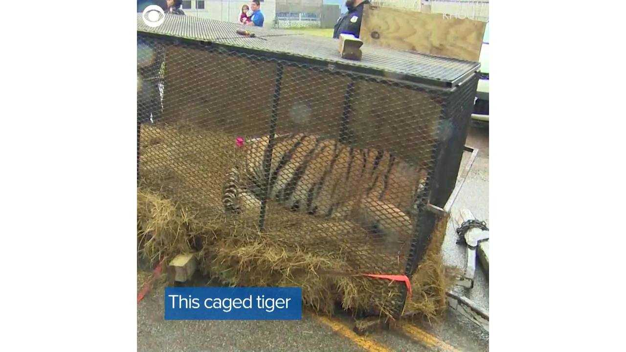 Tiger found in abandoned Texas home