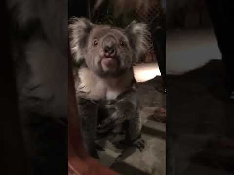 Did You Know Koalas Make This Sound!?