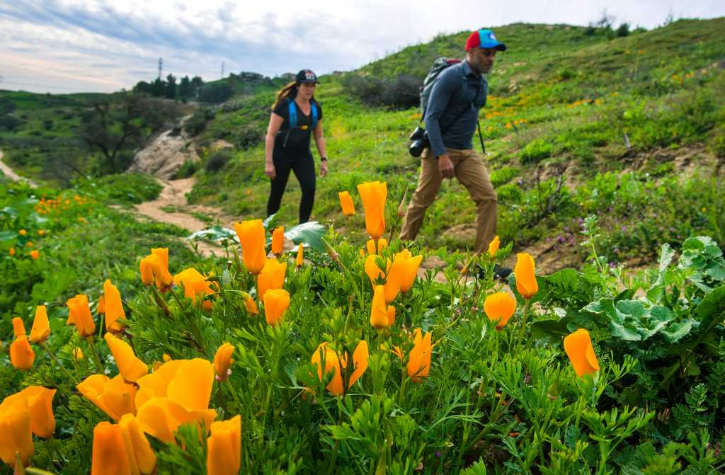 Wildflowers: How rain, fire and even drought could make 2019 a great year for Southern California