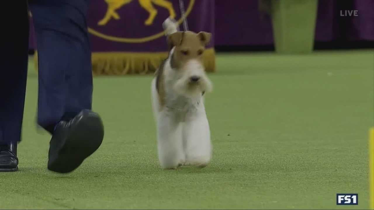Wire Fox Terrier wins Westminster Kennel Club Dog Show