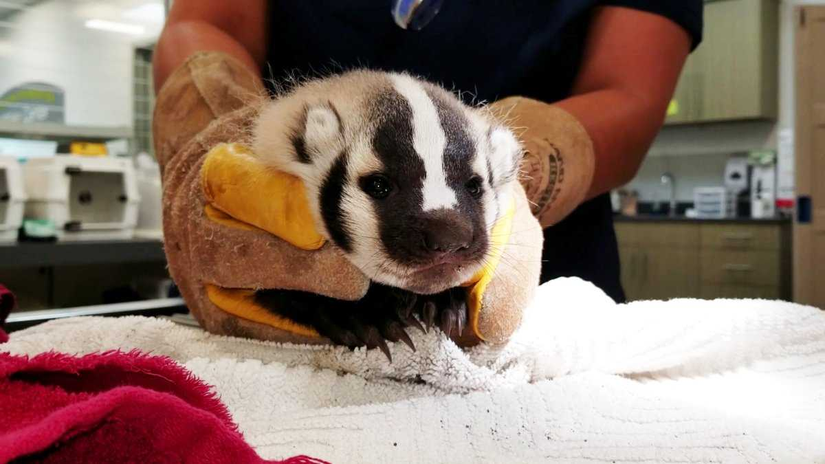 San Diego wildlife center takes in abandoned baby badger