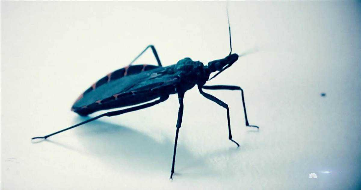 Health officials warn deadly kissing bugs spreading north in U.S.
