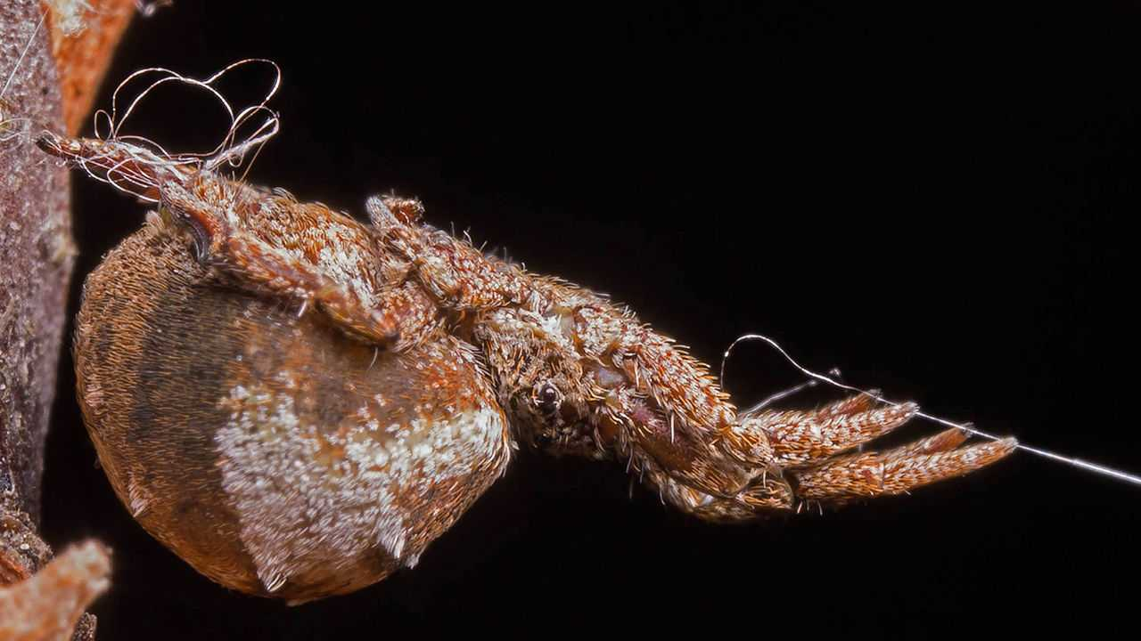 This spider turns its web into a slingshot, flinging itself at prey