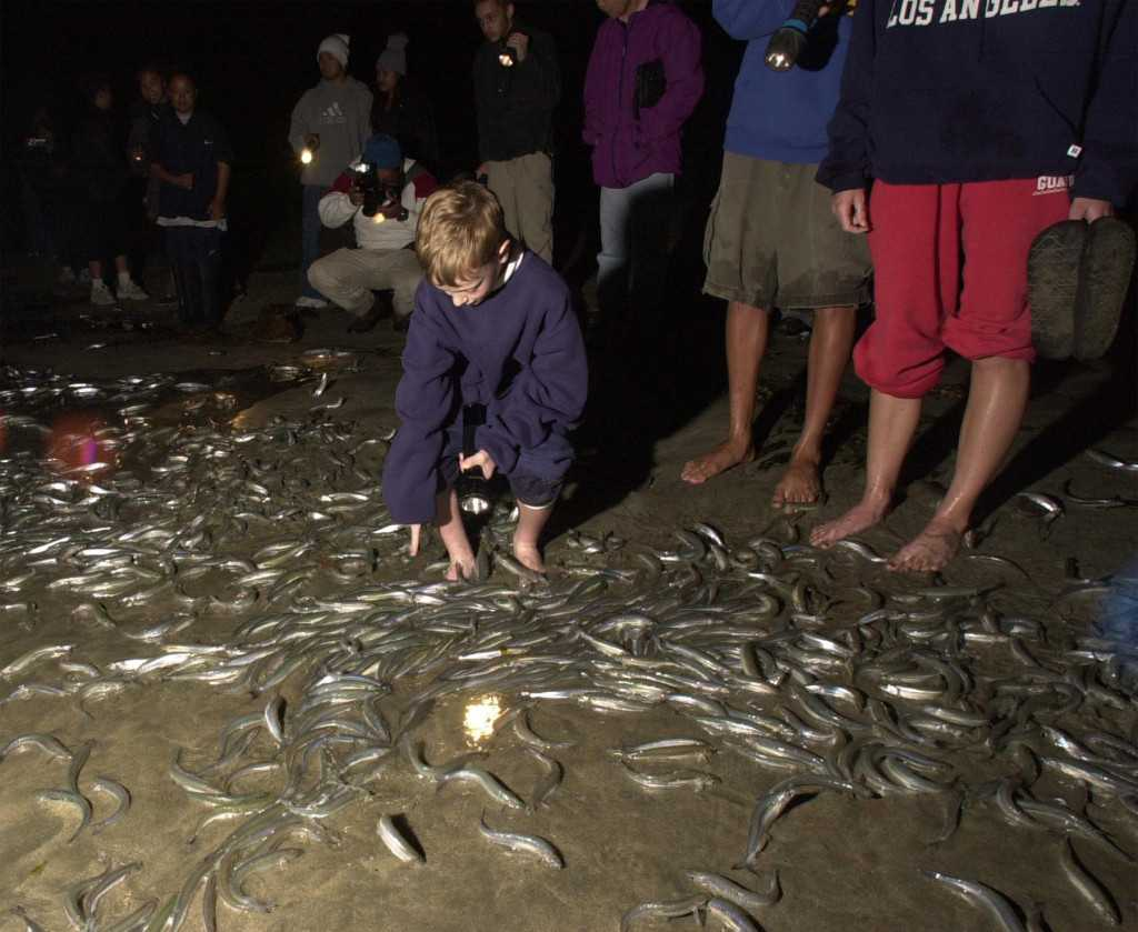 Grunion events coming up in Dana Point and San Pedro puts spotlight on fish out of water
