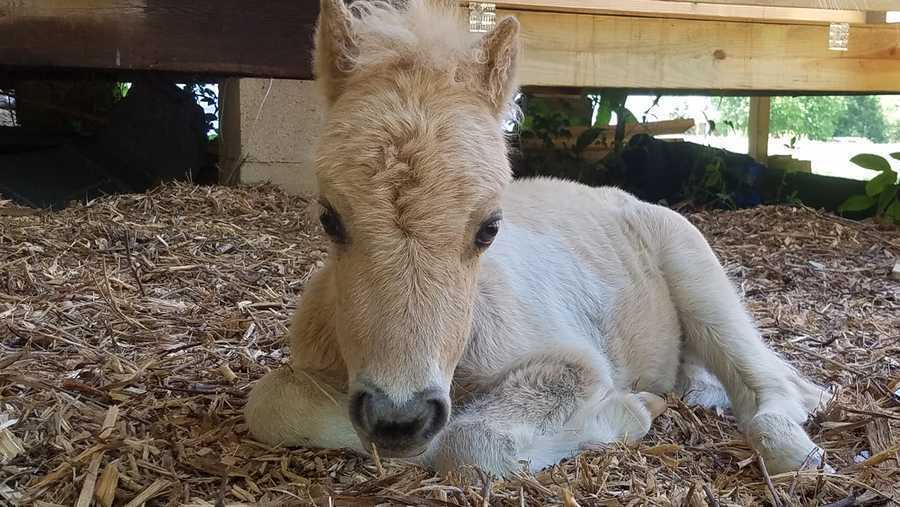Baby miniature horse believed to have been stolen from farm found dead