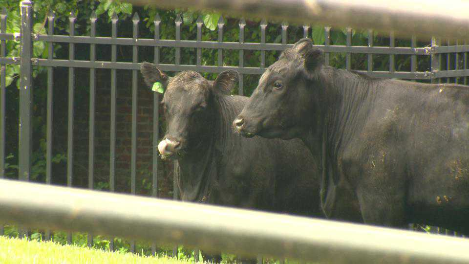 Loose bulls corralled in west Baltimore