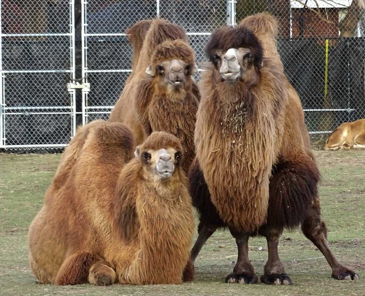 Celebrate World Camel Day At Detroit Zoo
