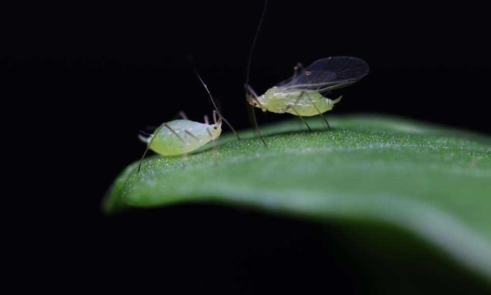 Virus genes help determine if pea aphids get their wings