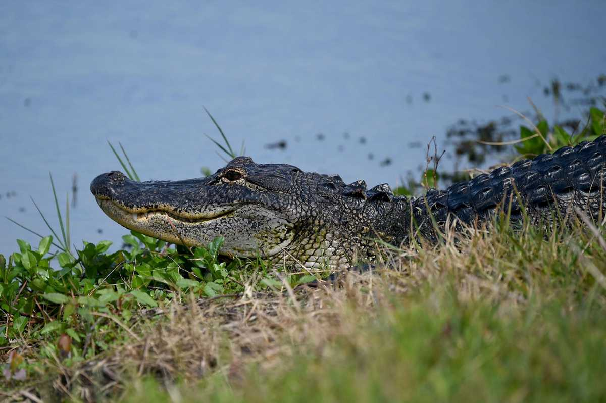Alligator activity prompts Circle B trail closures