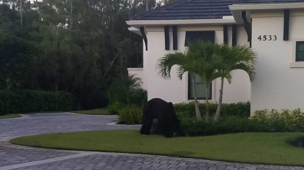 '8 Ball' the injured bear in Naples' Quail West concerns residents