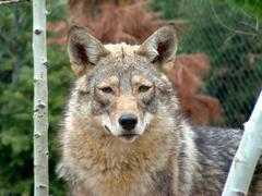Coyote Alert: Coyotes Near Residential Area from City of Duarte : Nixle