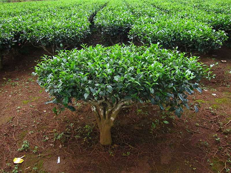 You Really Can Grow Tea Right at Home