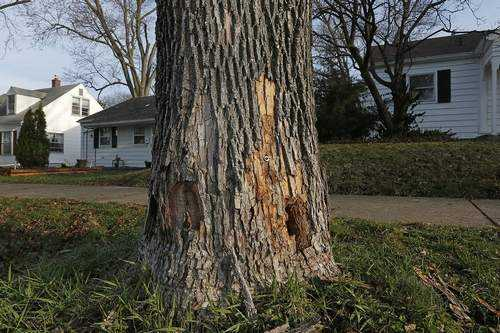 Quincy Tree Commission identifies trees to be removed after ash borer damage