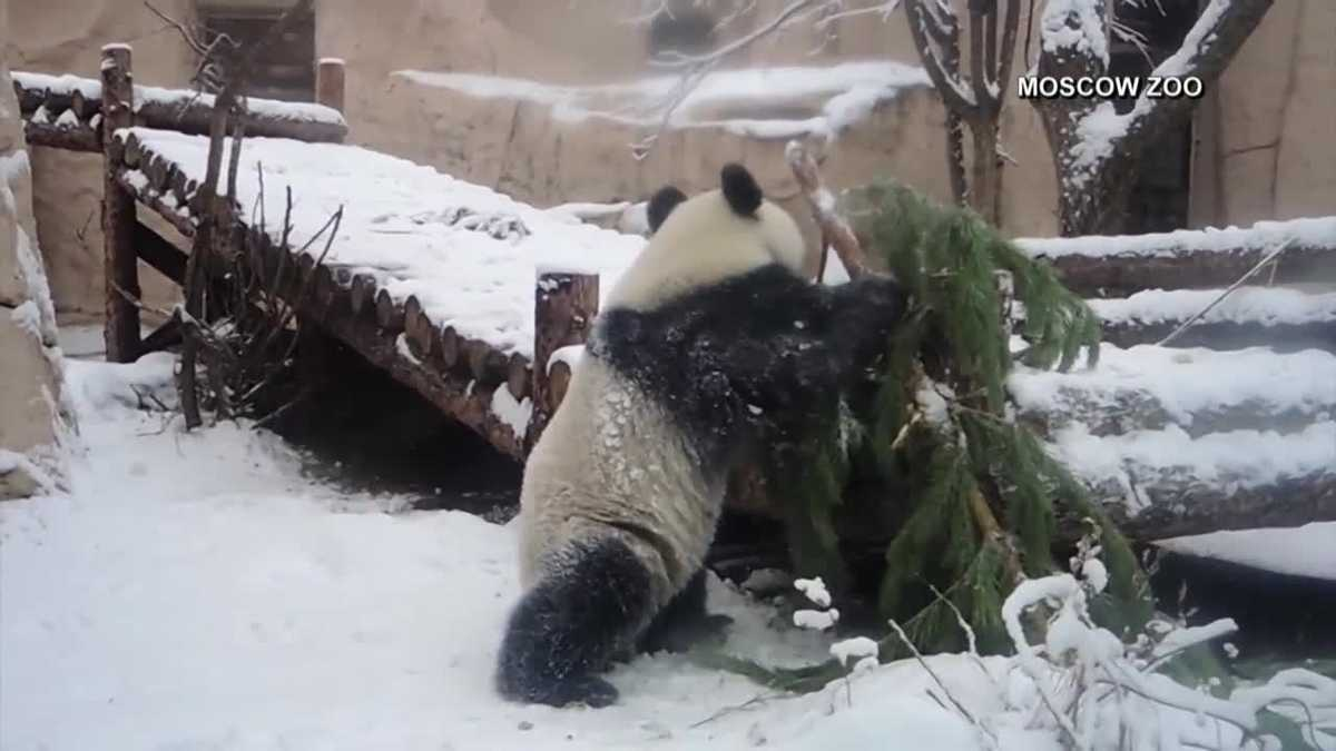 Ding Ding the panda plays in snow with fir trees